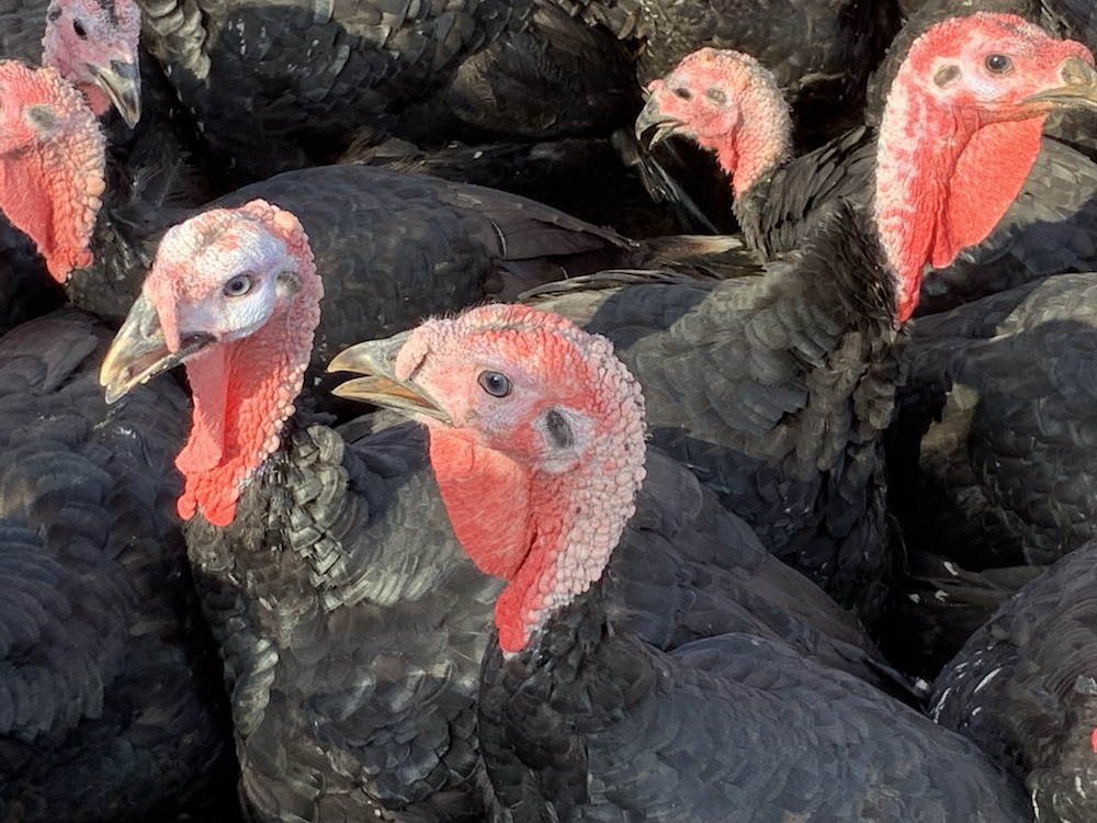 A close up on a flock of pasture-rasied turkeys at White Oak Pastures in Georgia.
